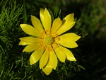 Yellow Pheasants-eye (Adonis vernalis)